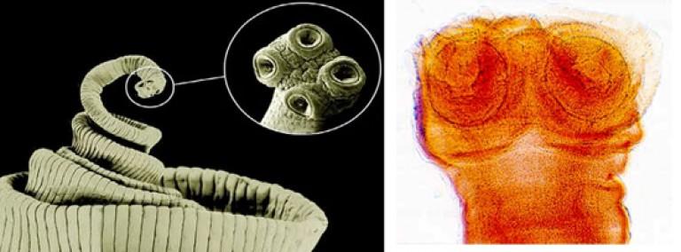 hol él a felnőtt bika szalagféreg