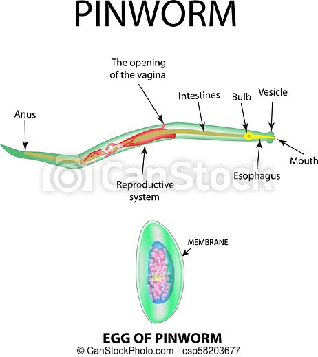 pinworm diagram