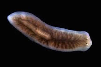 planaria phylum platyhelminthes