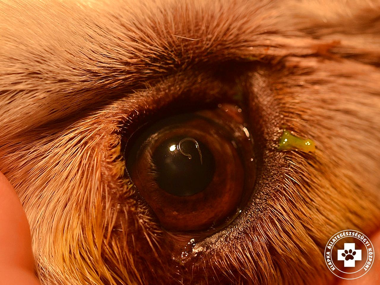 Viszkető szemhéjak - okok és betegségek, Kapcsolatba léphet a helmintákkal